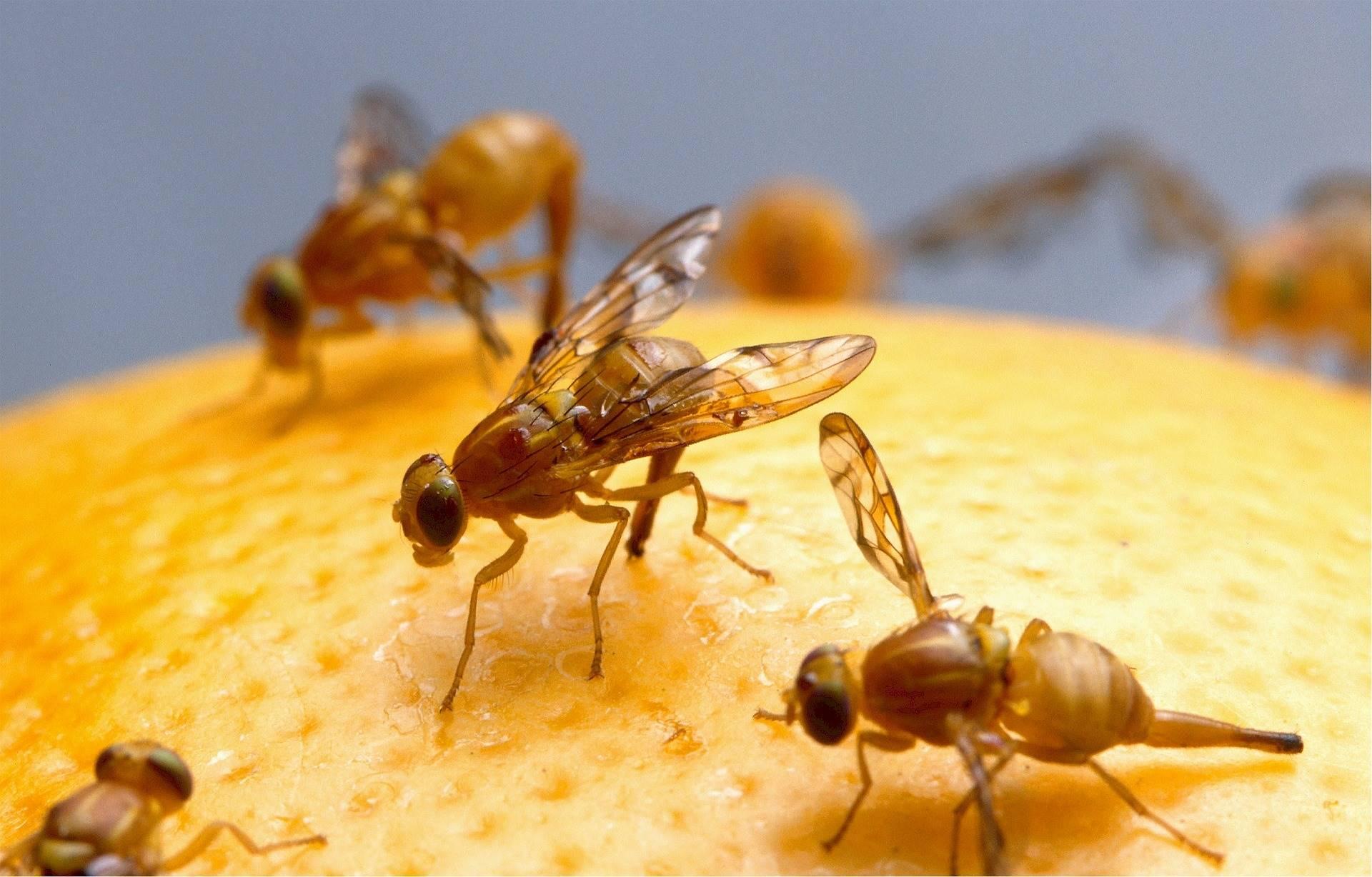 Fruitvliegjes: zo blijven ze je uit je keuken!