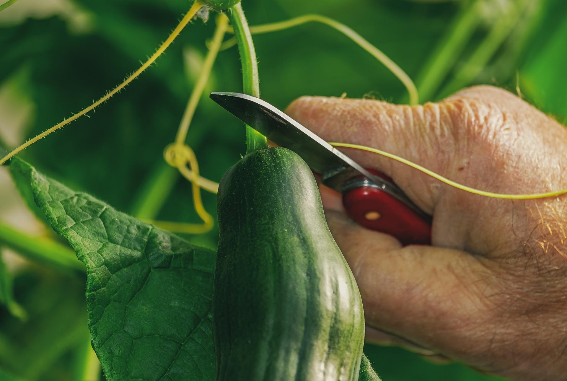 Komkommertijd: 15 weetjes over komkommers